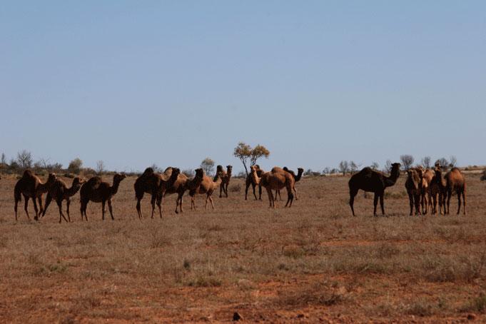 Kamele im Outback von Australien