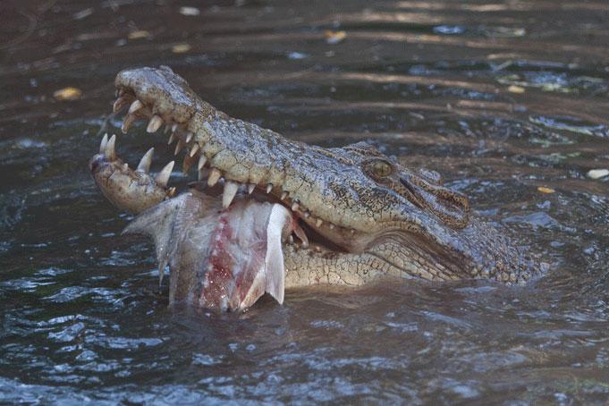 Crocodile Fishing