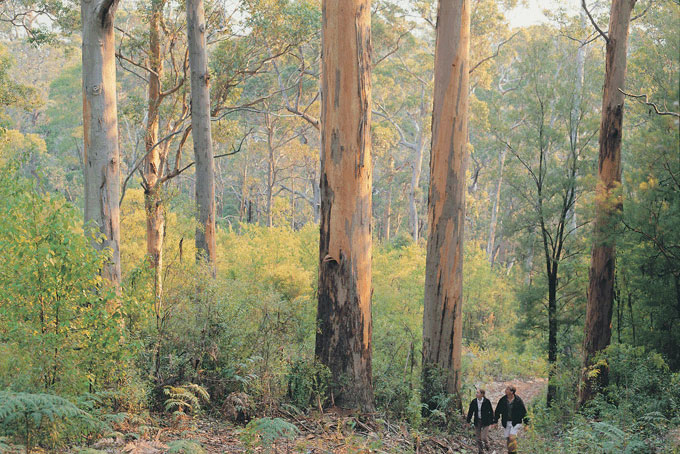 Karri Forest Near Pemberton