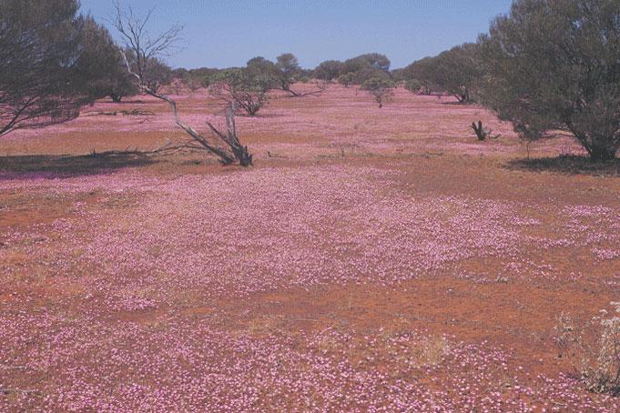 Wildblumenblüte in Western Australia