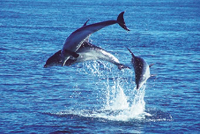 Delfine in Australien