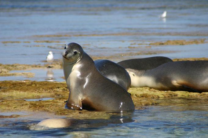 Eyre Peninsula Schwimmen mit Seelöwen