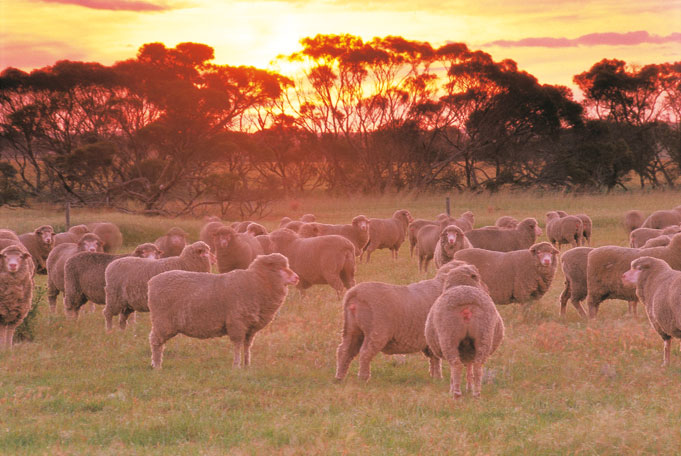 Schafherden inAustralia