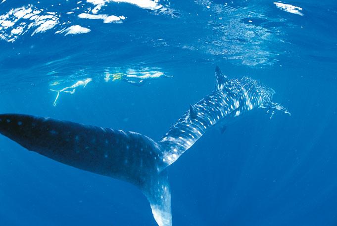 Schwimmen mit dem Walhai