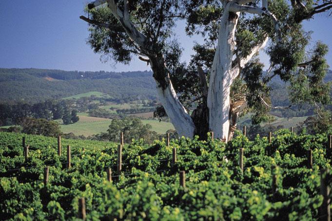 Hahndorf Vineyards, Adelaide Hills